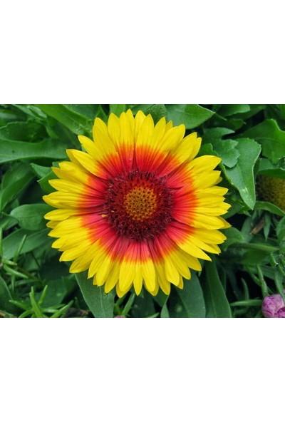 Çam Tohum Karışık Ayyıldız Çiçeği Tohumu 5'li