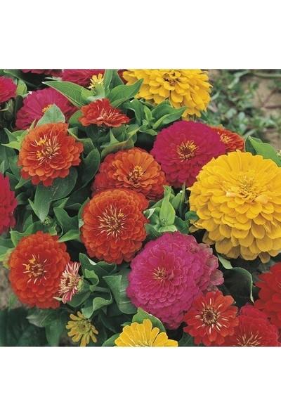 Çam Tohum Karışık Beybeğnedi Çiçeği Tohumu 5'li