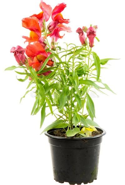 Çam Tohum Karışık Bocca Çiçeği Tohumu 10'lu