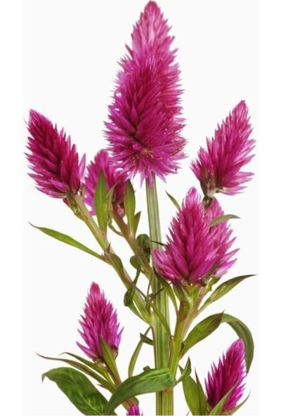 Çam Tohum Karışık Celosia Horoz Ibiği Çiçeği Tohumu 5'li