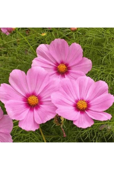 Çam Tohum Karışık Cosmos Çiçeği Ekim Seti 5'li
