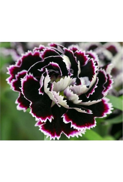 Çam Tohum Karışık Çin Karanfili Çiçeği Tohumu 5'li