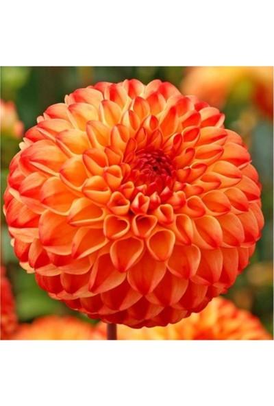Çam Tohum Karışık Dahlia Çiçeği Tohumu 5'li