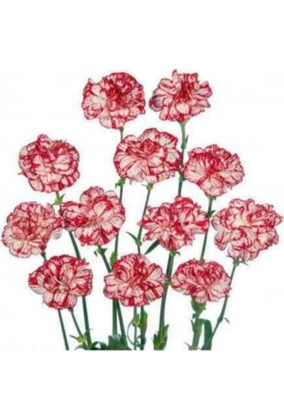 Çam Tohum Karışık Garofano Çiçeği Tohumu 5'li