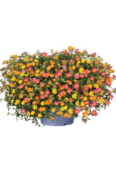 Çam Tohum Karışık Ipek Şellaki Çiçeği Ekim Seti 5'li