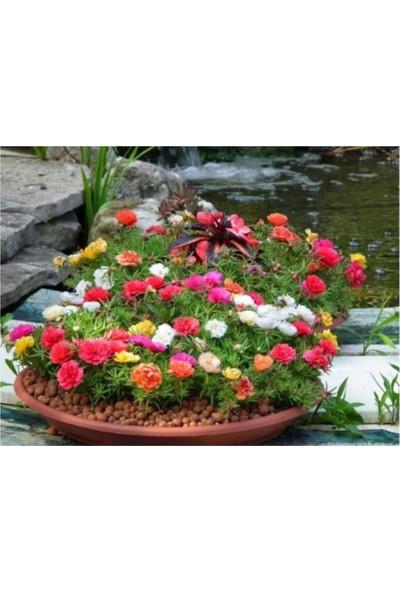 Çam Tohum Karışık Ipek Şellaki Çiçeği Tohumu 5'li