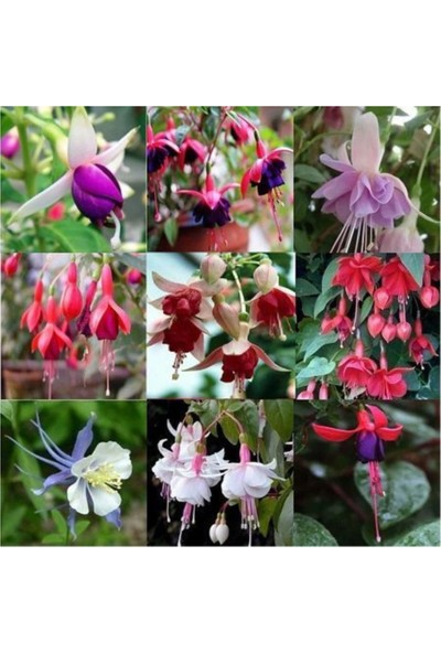 Çam Tohum Karışık Küpeli Çiçeği Tohumu 5'li