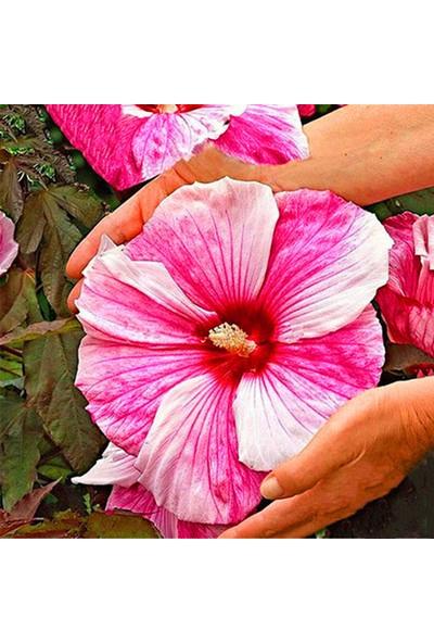 Çam Tohum Karışık Nadir Dev Dahlia Çiçeği Tohumu 5'li