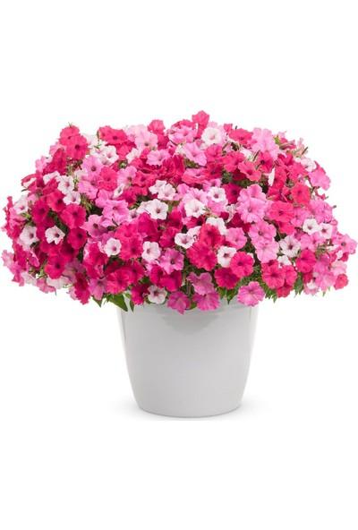 Çam Tohum Karışık Petunya Çiçeği Tohumu 25'li