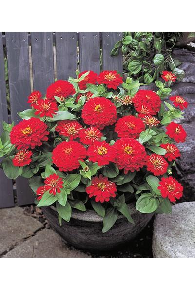 Çam Tohum Karışık Zinna Çiçeği Ekim Seti 5'li