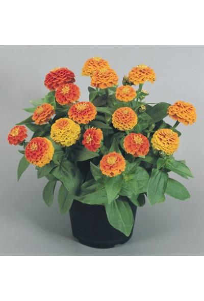 Çam Tohum Karışık Zinna Çiçeği Tohumu 5'li