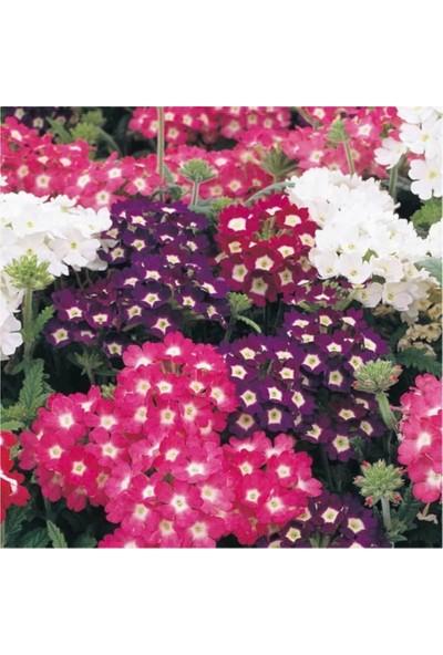 Çam Tohum Mine Çiçeği Ekim Seti 5'li