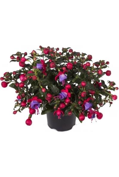Çam Tohum Mor Küpeli Çiçeği Ekim Seti Saksı Toprak 5'li