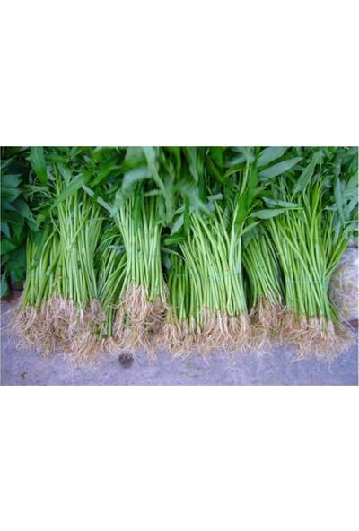 Çam Tohum Nadir Çin Su Ispanağı Tohumu 20'li
