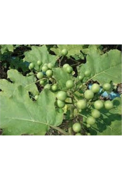 Çam Tohum Nadir Mini Üzüm Salkım Patlıcan Tohumu 5'li