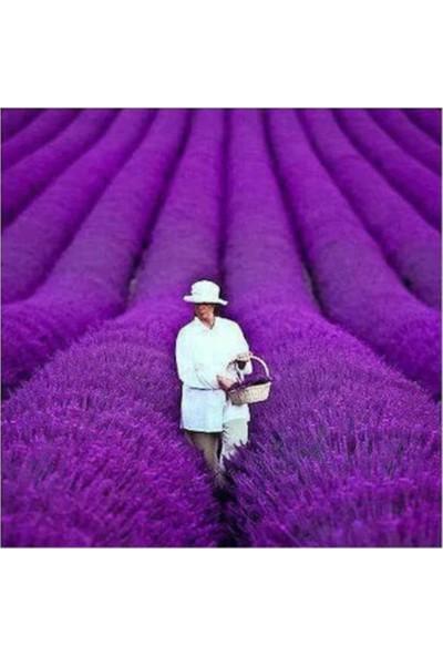 Çam Tohum Nadir Mis Kokulu Ingiliz Lavanta Çiçeği Tohumu 20'li