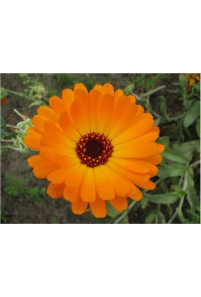 Çam Tohum Nergis Çiçeği Tohumu Ekim Seti Saksı Toprak 5'li