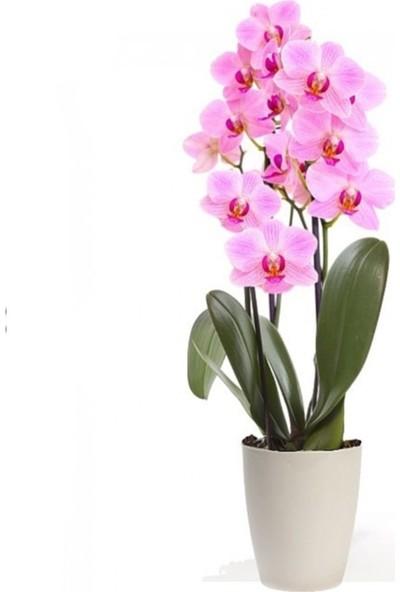 Çam Tohum Pembe Orkide Tohumu 5'li