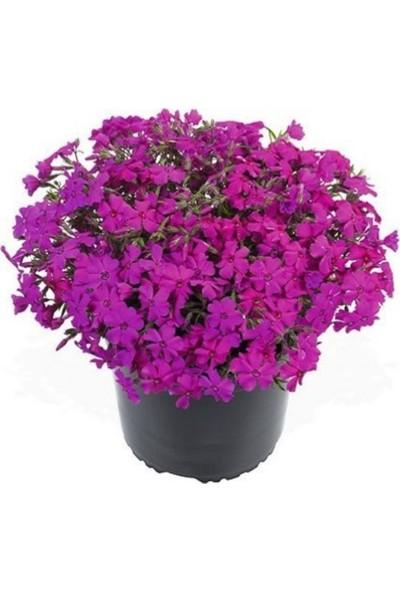 Çam Tohum Philox Çiçeği Tohumu 5'li