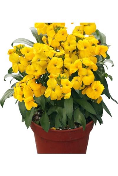 Çam Tohum Sarı Şebboy Çiçeği Ekim Seti 5'li