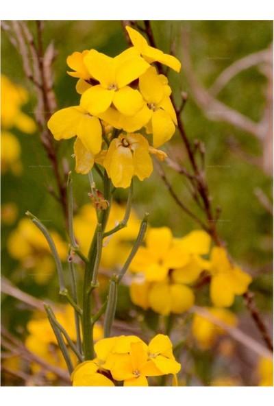 Çam Tohum Sarı Şebboy Çiçeği Tohumu 5'li