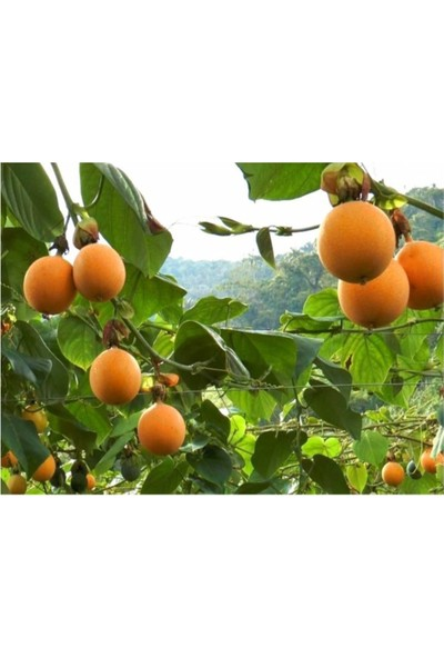 Çam Tohum Tropikal Granadilla Meyvesi Tohumu 5'li