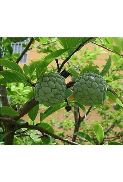 Çam Tohum Tropikal Sugar Apple Meyvesi Tohumu 3'lü