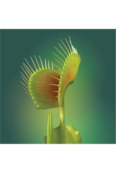 Çam Tohum Venus Fly Trap Tohumu Etobur Bitki 5'li