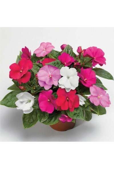 Çam Tohum Vinca Çiçeği Tohumu 5'li