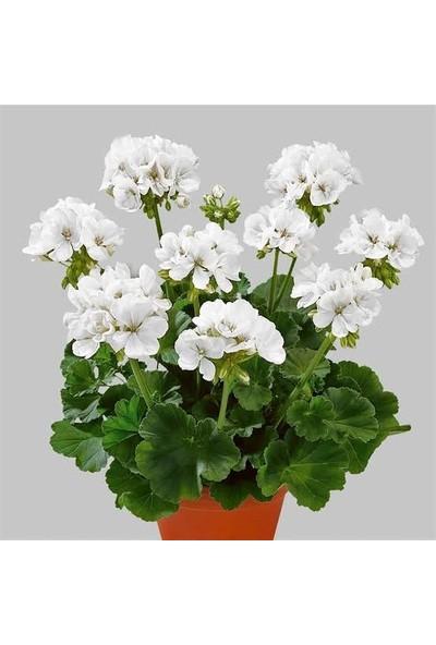 Boothas Sardunya Çiçeği Tohumu 15'li + Saksı + Torf