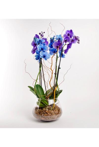 Boothas Mavi Orkide Çiçeği Tohumu 15'li + Saksı + Torf