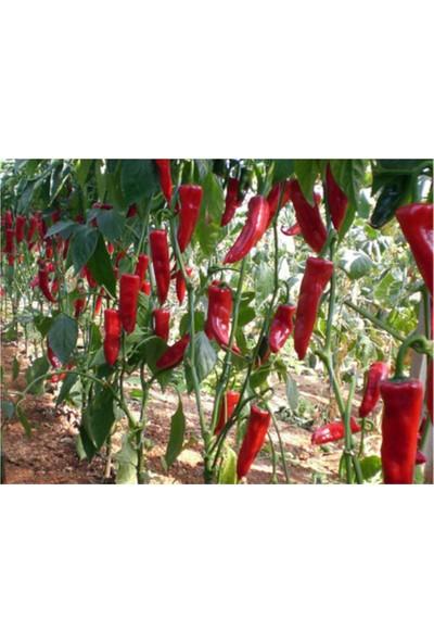 Çam Tohum Acı Kırmızı Kapya Biberi Tohumu 20'li