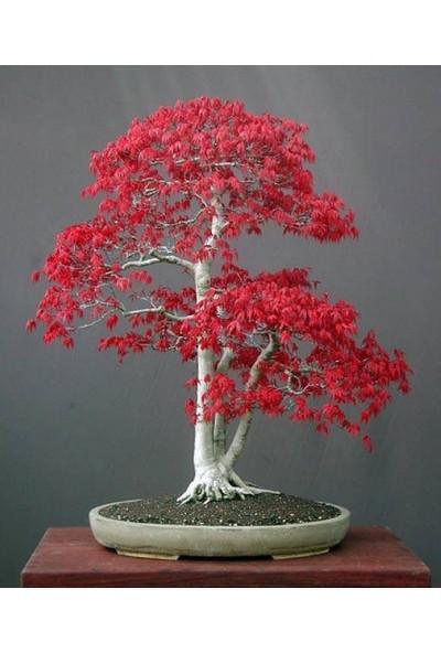 Çam Tohum Bodur Acer Rubrum Bonzai Ağacı Ekim Seti 5'li Saksı Toprak Kombin
