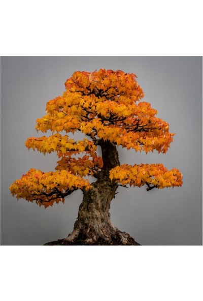 Çam Tohum Bodur Çınar Bonzai Ağacı Tohumu 5'li