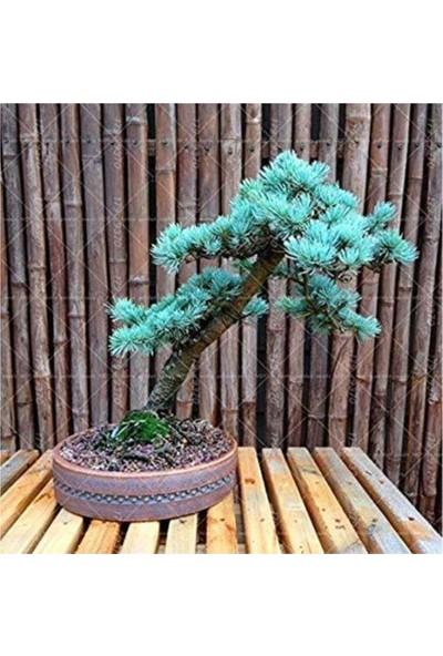 Çam Tohum Bodur Mavi Selvi Bonzai Ağacı Tohumu 5'li
