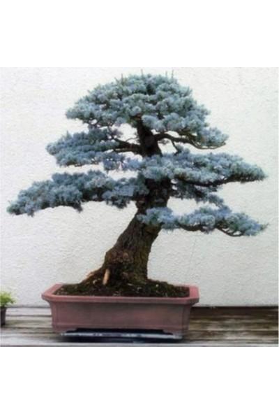 Çam Tohum Bodur Mavi Selvi Bonzai Ağacı Tohumu Ekim Seti 5'li Saksı Toprak Kombin
