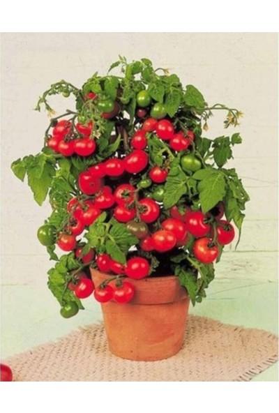 Çam Tohum Cherry Saksılık Domates Tohumu 10'lu