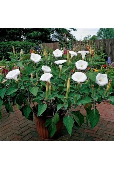 Çam Tohum Gece Güzeli Çiçeği Tohumu 5'li