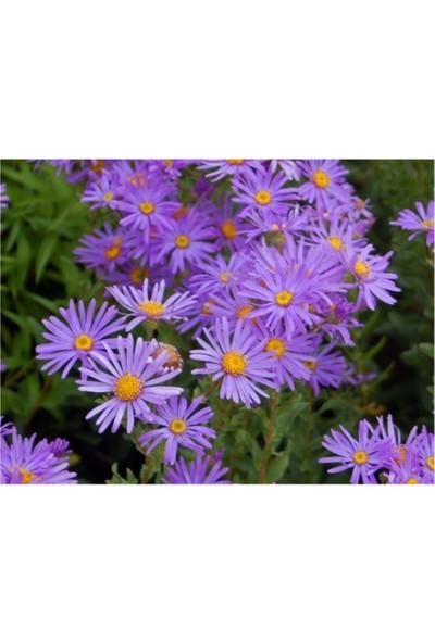 Çam Tohum Karışık Dilber Kipriği Çiçeği Tohumu 5'li