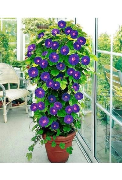 Çam Tohum Karışık Sarmaşık Çiçeği Tohumu Sabah Sefası 5'li