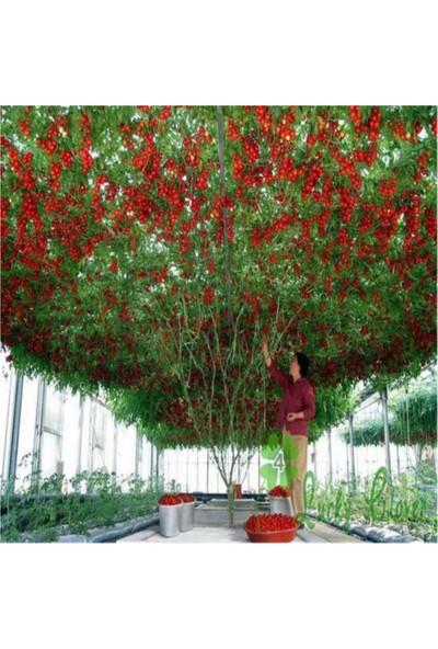 Çam Tohum Nadir İtalyan Domates Ağacı Tohumu 10'lu