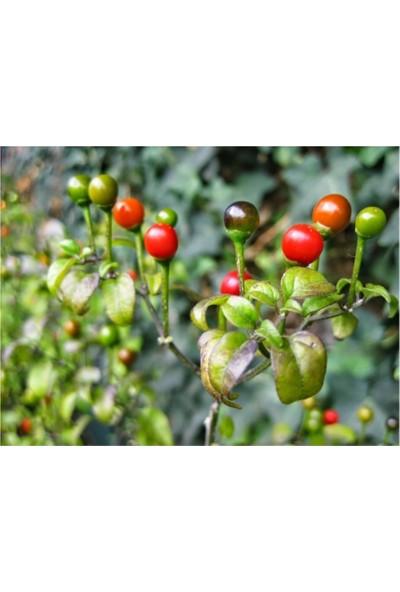 Çam Tohum Tatlı Cherry Kiraz Biberi Tohumu 10'lu