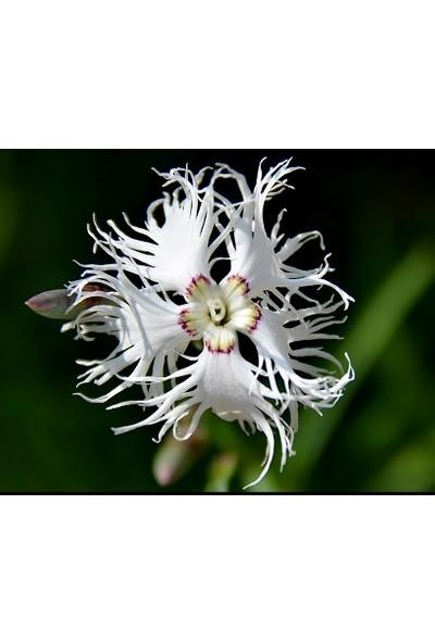 Bahçe Life Kokulu Dantel Karanfil Çiçeği Tohumu 50'li Çimlendirme Torfu