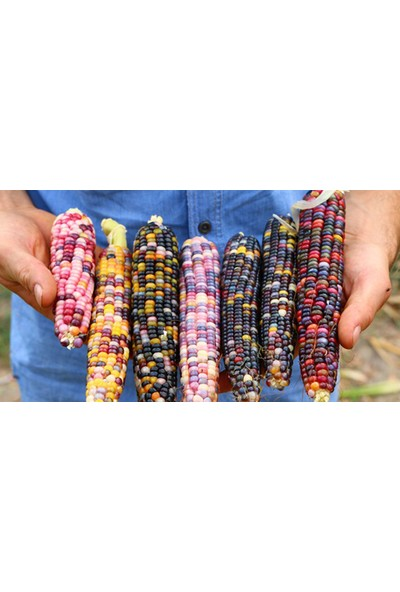 Çam Tohum Renkli Mısır Tohumu Eko Paket 10 Tohum