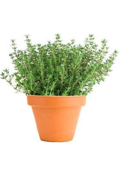Çam Tohum Aromatik Dağ Kekiği Tohumu Kekik Tohumu Eko Paket 250'li