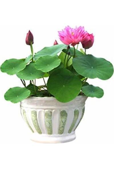Çam Tohum Lotus Tohumu Nilüfer Eko Paket 10'lu