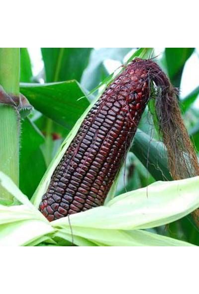 Çam Tohum Eko Paket 30 Adet Tohum Bolivya Parmak Mor Mısır Tohumu