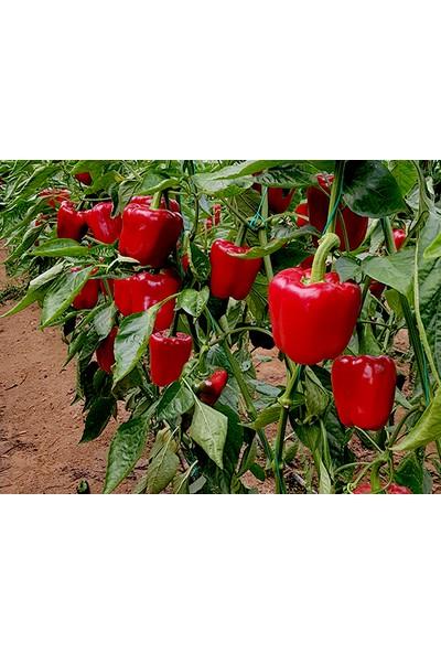 Çam Tohum Nadir İthal Acı Kırmızı Dolmalık Biber Tohumu Eko Paket 200'li