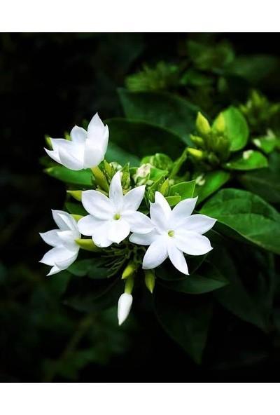 Boothas Mis Kokulu Yasemin Çiçeği Tohumu 10 Adet Torf Saksı Tohum