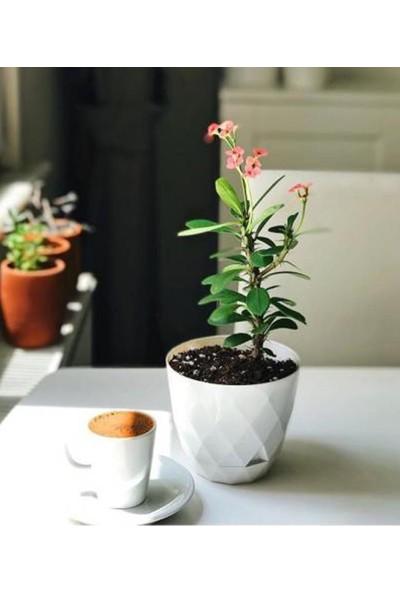 MF Botanik Karasu Yakamoz Saksı Beyaz 4,8 lt